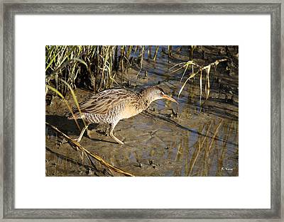 Virginia Rail Out In The Open Framed Print by Roena King