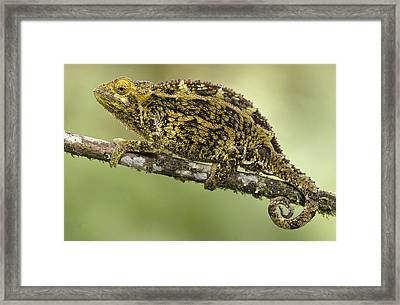 Virunga Chameleon, Parc National Des Framed Print by Gerry Ellis
