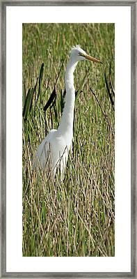 Wading Great Egret Framed Print by Patrick M Lynch