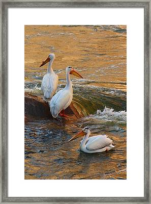 Waiting For Dinner Framed Print by Richard Stillwell