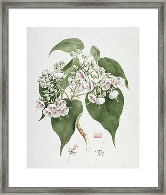 Walkuffa No.5 Dombeya Torrida  Framed Print by James Bruce