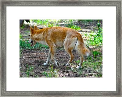 Wandering Dingo Framed Print by Joanne Kocwin