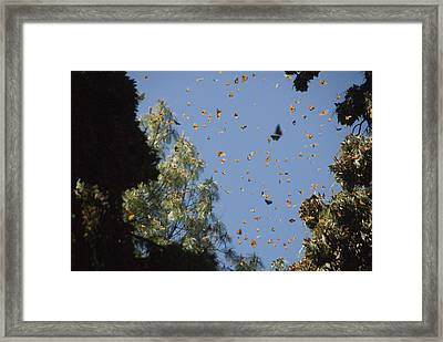Warmed By The Sun, Thousands Of Monarch Framed Print by Annie Griffiths