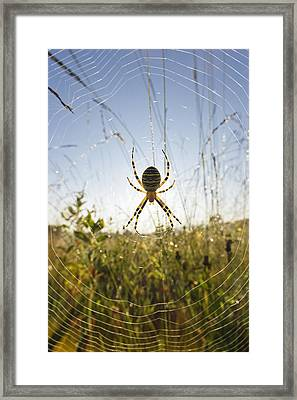 Wasp Spider Argiope Bruennichi In Web Framed Print by Konrad Wothe