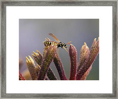 Waspage In The Kangaroo Paw Framed Print by Joe Schofield