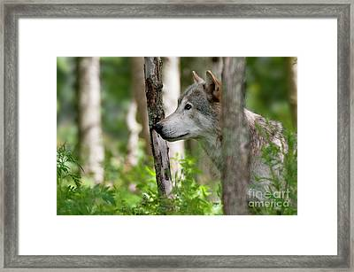 Watcher In The Woods Framed Print by Michael Cummings