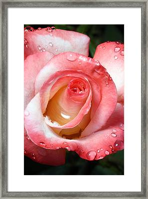 Water Droplets On Rose Framed Print by David Yunker
