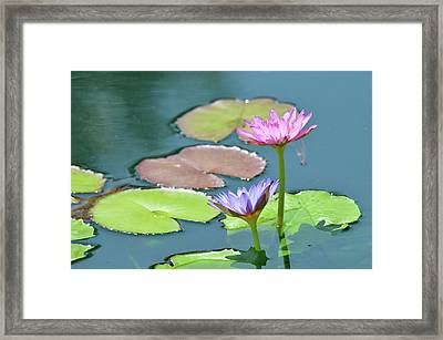 Water Lillies Of A Different Color Framed Print by Kathy Gibbons