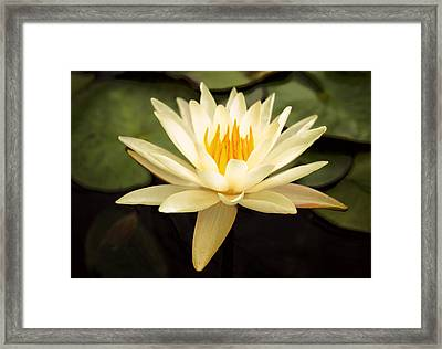 Water Lily Framed Print by Darren Fisher