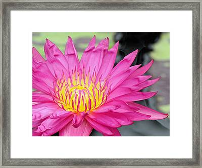 Water Lily In Pink Framed Print by Becky Lodes