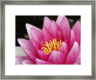 Waterlily Close-up Framed Print by Nicola Butt