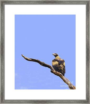 Wedgetail Eagle Framed Print by Johan Larson