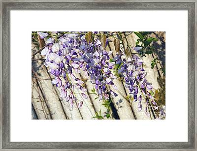 Weeping Wisteria Framed Print by Andee Design