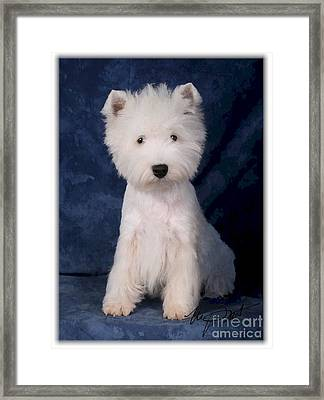 West Highland White Terrier Pup Framed Print by Maxine Bochnia