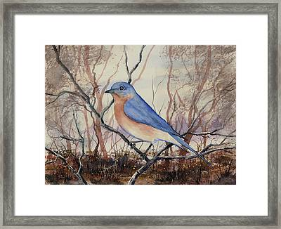Western Bluebird Framed Print by Sam Sidders