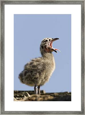 Western Gull Chick Begging For Food Framed Print by Sebastian Kennerknecht