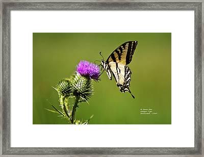 Western Tiger Swallowtail - Milkweed Thistle 2564 Framed Print by James Ahn
