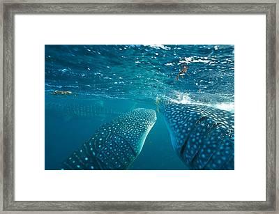 Whale Sharks Framed Print by Alexis Rosenfeld