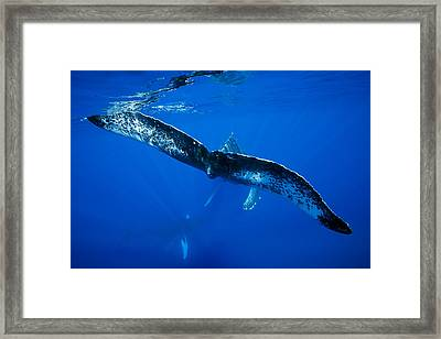 Whale Tail Framed Print by Dave Fleetham