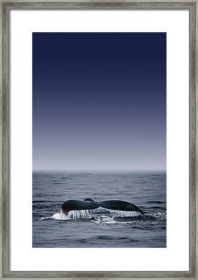 Whales Fluke Framed Print by Darren Greenwood