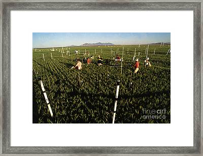 Wheat And Elevated Carbon Dioxide Framed Print by Science Source