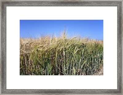 Wheat Field (triticum Sp.) Framed Print by Victor De Schwanberg