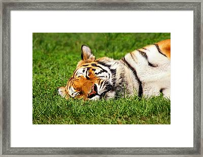 When Tigers Dream Framed Print by Joe Myeress