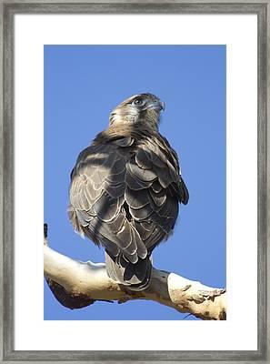 Whistling Kite Framed Print by Douglas Barnard