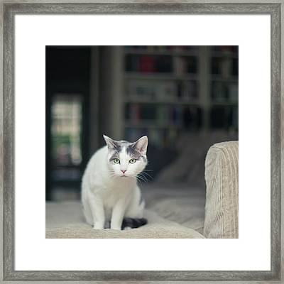 White And Grey Cat On Couch Looking At Birds Framed Print by Cindy Prins