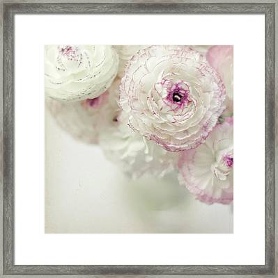 White And Pink Ruffled Ranunculus Flowers Framed Print by Cindy Prins