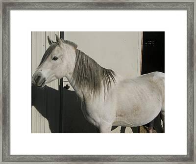 White Arabian Stallion Sunbathing Framed Print by Burkhard Eichberger