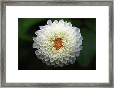 White Beautiful  Dahlia Framed Print by Photography by Dalang5