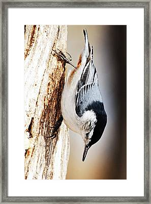 White-breasted Nuthatch 2 Framed Print by Larry Ricker