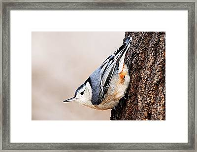 White-breasted Nuthatch 4 Framed Print by Larry Ricker