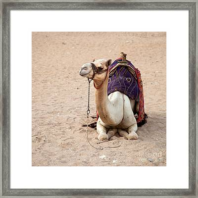 White Camel Framed Print by Jane Rix