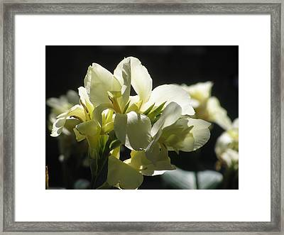 White Canna Lily Framed Print by Alfred Ng