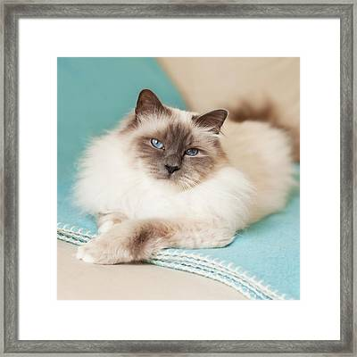 White Cat On Blue Blanket Framed Print by MariaR
