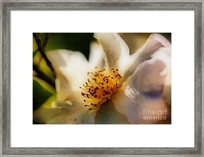 White Climbing Rose Framed Print by Cheryl Young