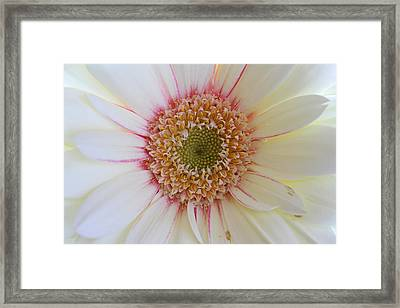 White Daisy Portrait Framed Print by Juergen Roth