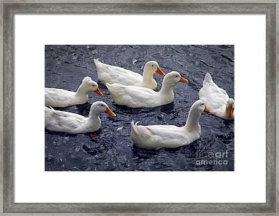 White Ducks Framed Print by Elena Elisseeva