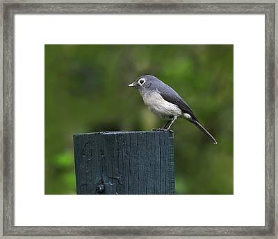 White-eyed Slaty Flycatcher Framed Print by Tony Beck