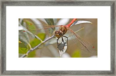 White-faced Meadowhawk Framed Print by Mitch Shindelbower