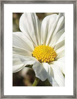 White Flower Framed Print by Carol Groenen