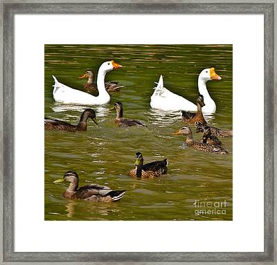 White Geese And Ducks Framed Print by Harry Strharsky
