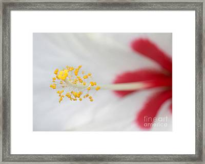 White Hibiscus Macro Framed Print by Sabrina L Ryan