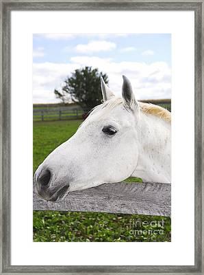 White Horse Framed Print by Elena Elisseeva