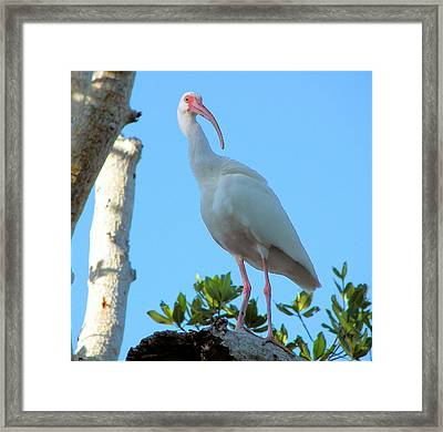 White Ibis In The Treetop Framed Print by Judy Via-Wolff