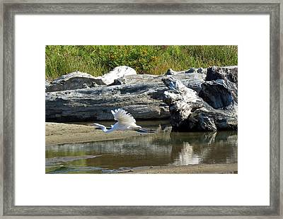 White In Flight Framed Print by Chris Anderson