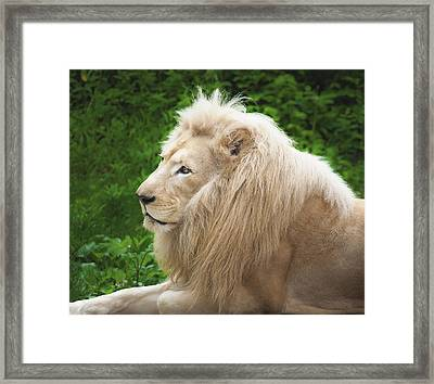 White Lion Framed Print by Jen Morrison