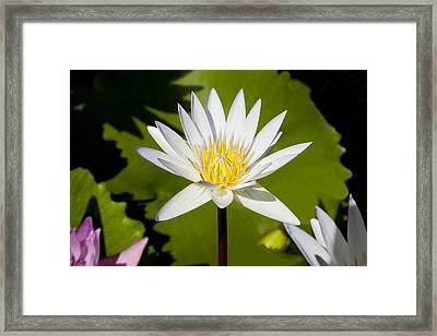 White Lotus Framed Print by Kelley King